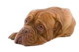 french mastiff dog isolated on white poster