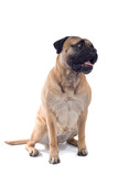 bull mastiff isolated on white poster