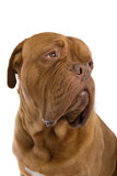 french mastiff dog poster