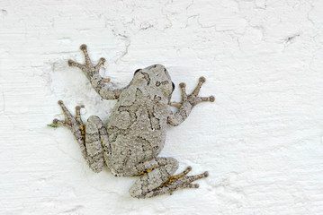 Grey tree frog clinging to the foundation of a house.