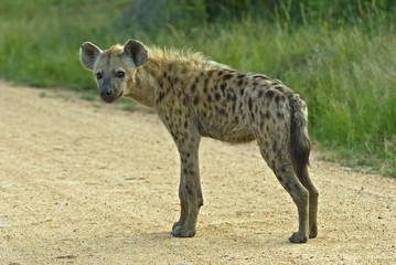 The male Spotted Hyena is smaller than the Female
