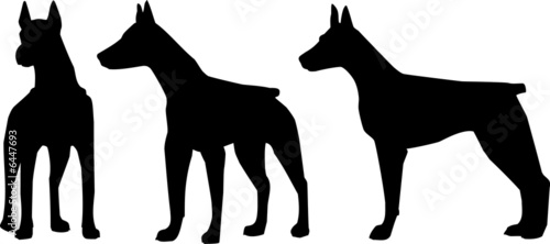 Dog. The Dobermann terrier - a silhouette in various poses