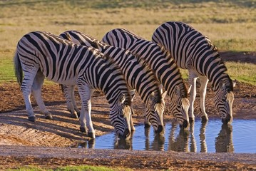 Zebra are water dependent and need to drink everyday
