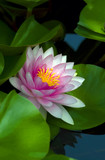 tropical waterlily in backyard pond poster