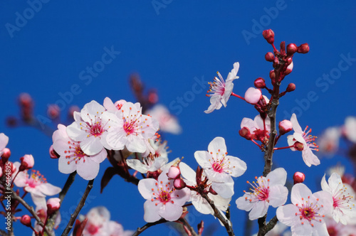 Apple blossoms in early spring. Shot in Larkspur,  California.