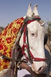 White Marwari Horse at the Nagaur Cattle Fair, Rajasthan, India poster