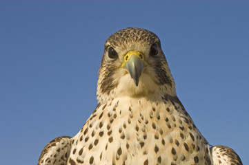 closeup of  Peregrine Falcon crossbred