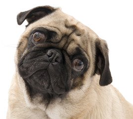 Pug Looking Concerned, Isolated Against White