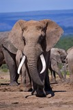 African Elephant Bulls have impressive Tusks like this bull