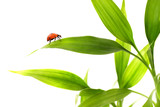 Ladybird sitting on a bamboo leaves poster