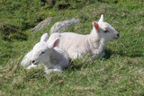 Two newly born lambs in a lush meadow poster