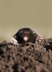 black mole