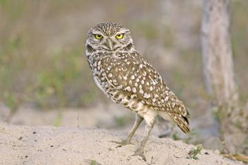 A pretty little Burrowing Owl