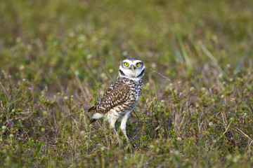 Burrowing Owl hunting in a field