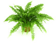 Fern in a pot isolated on white