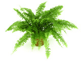 Fern in a pot isolated on white - 6503880