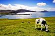 Vache broutant en bord de mer
