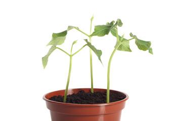 Bean seedlings close-up