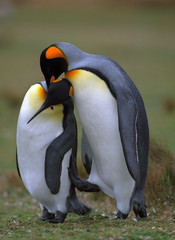 King penguins in love
