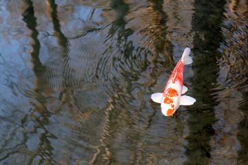 Carp in a pond