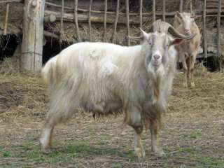 he and she goat