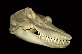 A skull of Orcinus orca, the killer whale poster