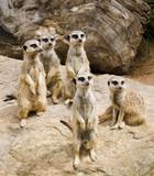 meercat alert poster