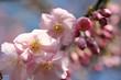 Leinwandbild Motiv Kirschblüte