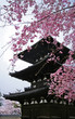 Cherry blossom and pagoda in spring, Nara, Japan