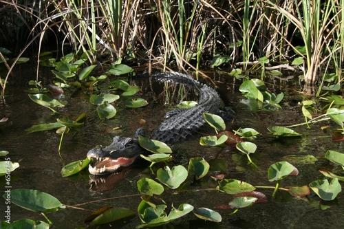 Gator Evergaldes