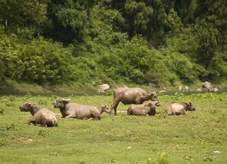 Chinese bulls near Lijiang River in Guilin, China