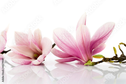 Foto op Canvas Magnolia flowers