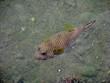 Leinwanddruck Bild brauner Kugelfisch