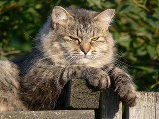 A lying cat