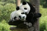 panda - Fine Art prints