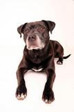 hund haustier labrador braun poster