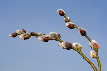 pussy-willow branch