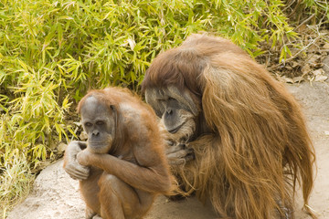 Two Orangutans Contemplating