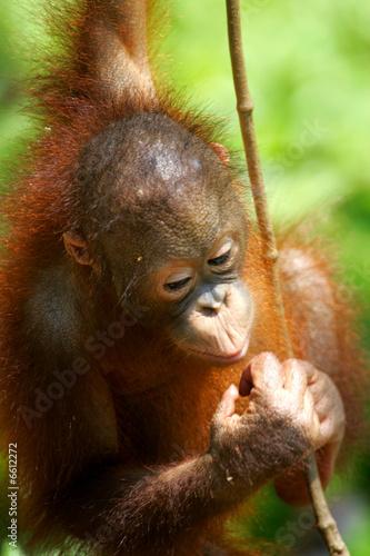 Fotobehang Leeuw Orangutan