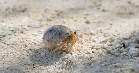 pushy hermit crab