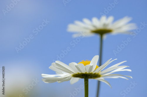 Daisies in the sky