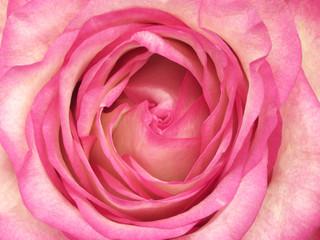 Center of pink rose