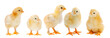 canvas print picture - Adorable chicks