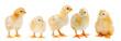 Leinwandbild Motiv Adorable chicks