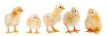 """Постер, картина, фотообои """"Adorable chicks"""""""