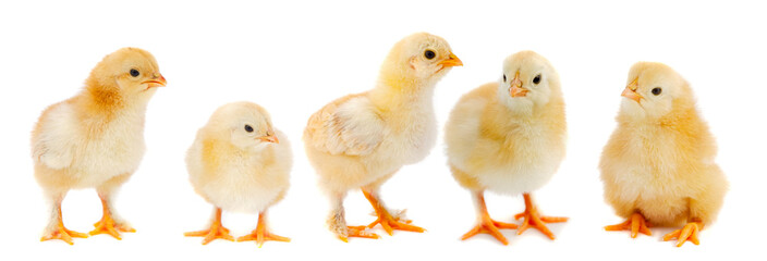 Adorable chicks