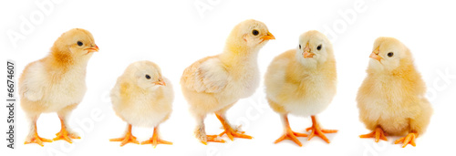 canvas print picture Adorable chicks
