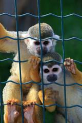 Sad caged monkeys