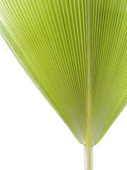 feuille palmier éventail
