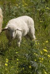 pecore 4
